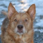 Meet this loving 7 year old shepherd mix named Gemma. Gemma is one of the sweetest pups you will ever meet.