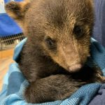 (Update) Hope for Wildlife calls for changes after bear cub seized, destroyed
