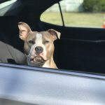 SPCA Animal Protection Officers responded to a complaint in Sydney of a dog left in a hot car.