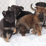 Name the Puppy Contest 2021: Help RCMP name the puppies that will become Canada's future RCMP Police Dogs