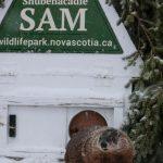 (Photos) Shubenacadie Sam predicts early spring
