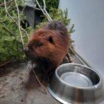 Beaver rescue update