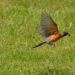 Spring songbird migration changes