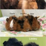The Dartmouth SPCA currently has 3 sets of bonded guinea pigs seeking their furever homes
