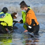 Outcome of the pilot whale stranding / death last weekend.